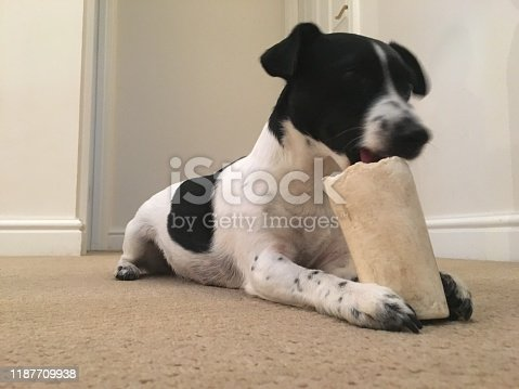 885056264istockphoto Weller the Jack Russell Terrier - Pet Love 1187709938