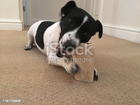 885056264istockphoto Weller the Jack Russell Terrier - Pet Love 1187709939