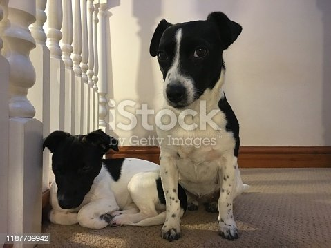885056264istockphoto Weller the Jack Russell Terrier - Pet Love 1187709942