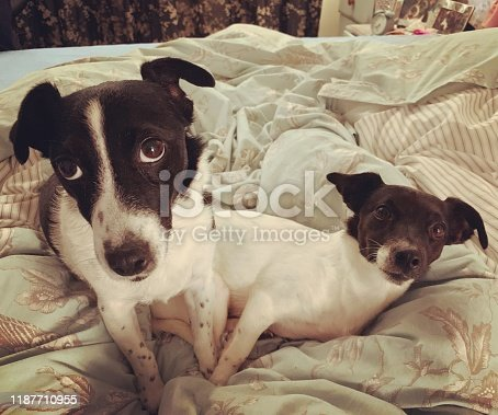 885056264istockphoto Weller the Jack Russell Terrier - Pet Love 1187710955