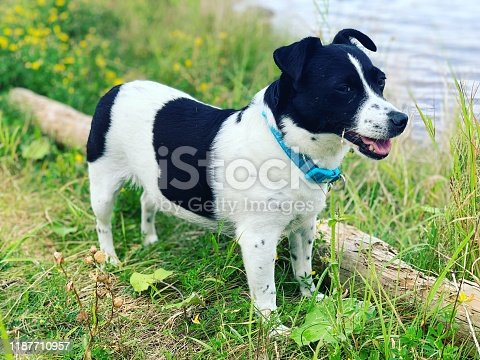 885056264istockphoto Weller the Jack Russell Terrier - Pet Love 1187710957