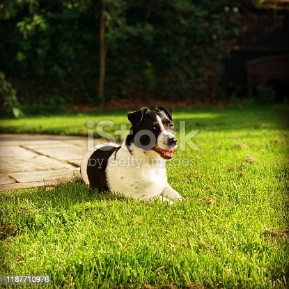 885056264istockphoto Weller the Jack Russell Terrier - Pet Love 1187710976