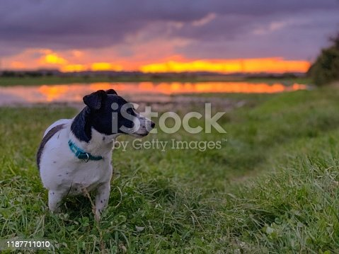 885056264istockphoto Weller the Jack Russell Terrier - Pet Love 1187711010
