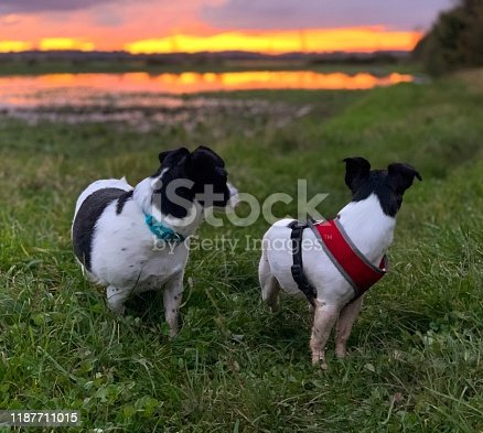 885056264istockphoto Weller the Jack Russell Terrier - Pet Love 1187711015