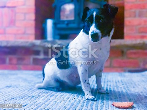885056264istockphoto Weller the Jack Russell Terrier - Pet Love 1187711022