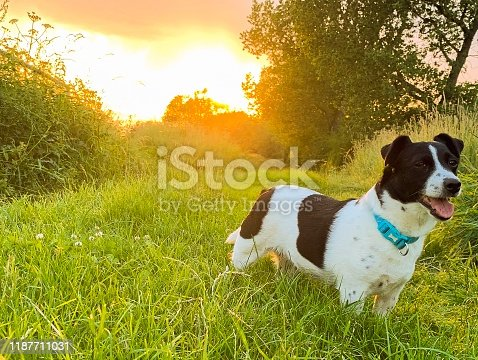 885056264istockphoto Weller the Jack Russell Terrier - Pet Love 1187711031