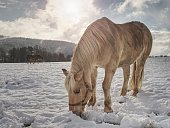 Well-fed light horse breed Isabella rake frozen grass under the snow. Snowy meadow in countryside.