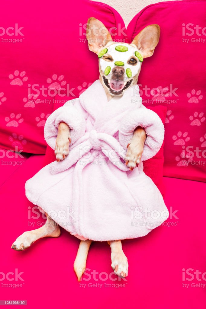 chihuahua dog relaxing with beauty mask in spa wellness center ,...