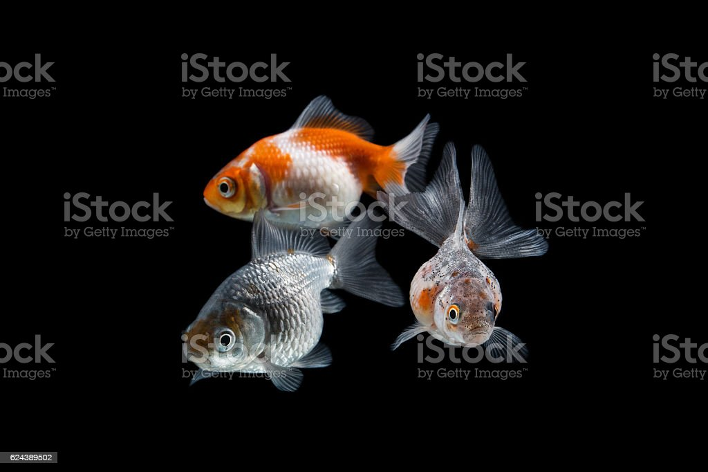 Welon perłołuski, złota rybka stock photo