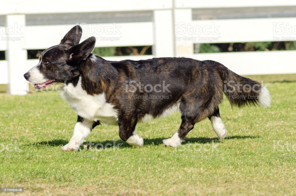 Welsh Corgi Cardigan stock photo