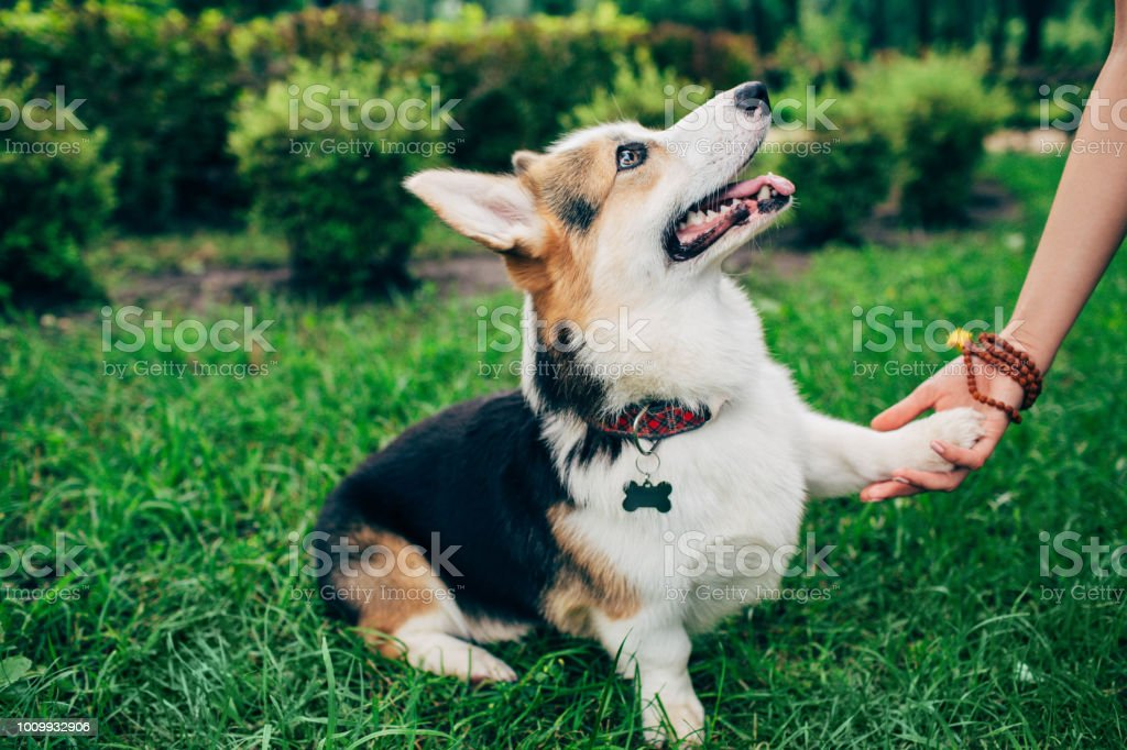 welsh corgi dog giving paw her owner, human hand and dog paw.