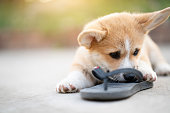 istock Welsh corgi dog pembroke puppy playing or bite owners shoes or flip flop 1165894762