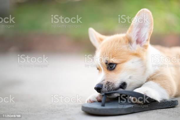 Welsh corgi dog pembroke puppy playing owners shoes or flip flop picture id1125349766?b=1&k=6&m=1125349766&s=612x612&h=djqpftqvmbtwbxmyesi6fbtm5mq jwm7tfcpz6stekk=
