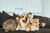 istock welsh corgi dogs and british longhair cat on sofa at home 1077145122