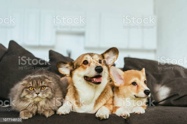 Welsh corgi dogs and british longhair cat on sofa at home picture id1077145122?b=1&k=6&m=1077145122&s=612x612&h=gmmvsyhaijfdl2avsfmxjn4t0tr2nciau3cwkasmem4=