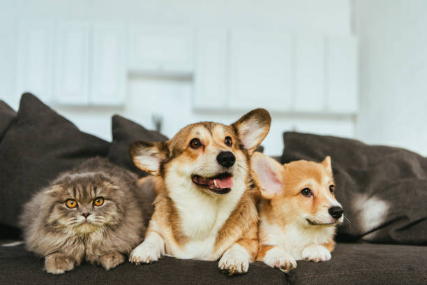welsh corgi dogs and british longhair cat on sofa at home - pets imagens e fotografias de stock