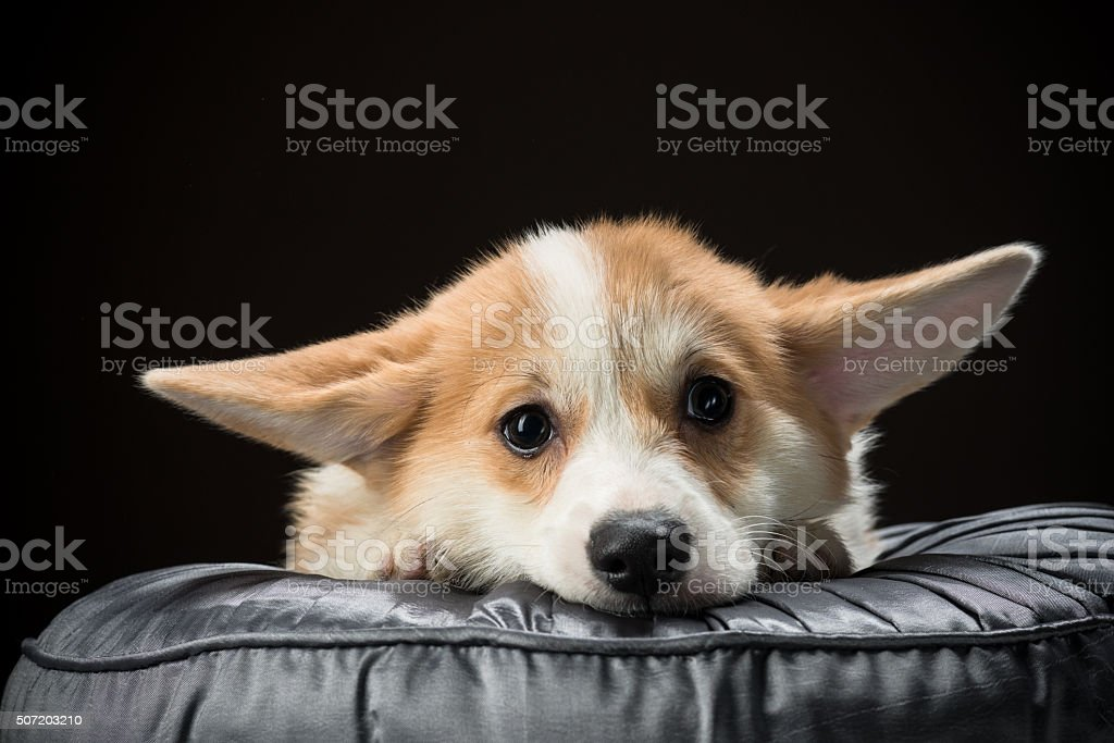 Welsh corgi pembroke puppy laying on a cushion stock photo