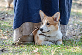 Welsh corgi pembroke puppy is lying in the meadow at the feet of the owner