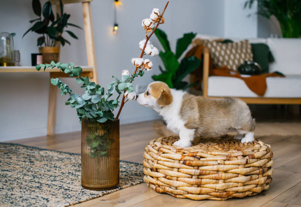 Welsh corgi pembroke puppy smelling flowers in home room picture id1131174534?b=1&k=6&m=1131174534&s=612x612&w=0&h=8modedlj5xqzas5y0mcqg6c8abrgp8vk41ocnkjteeu=