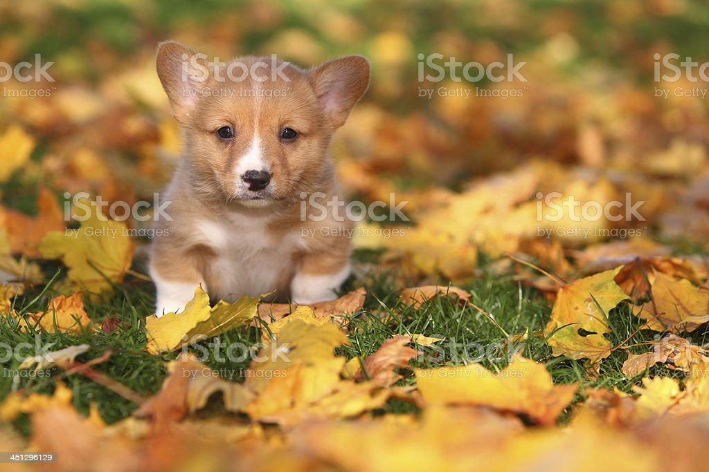 Welsh Corgi Puppy in Autumn Leaves stock photo