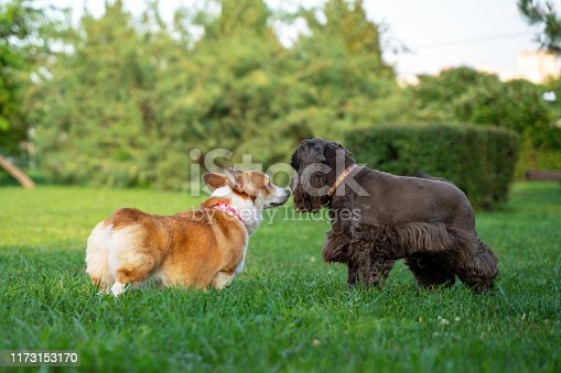 Photo of two purebred thoroughbred playful dogs running on a green lawn