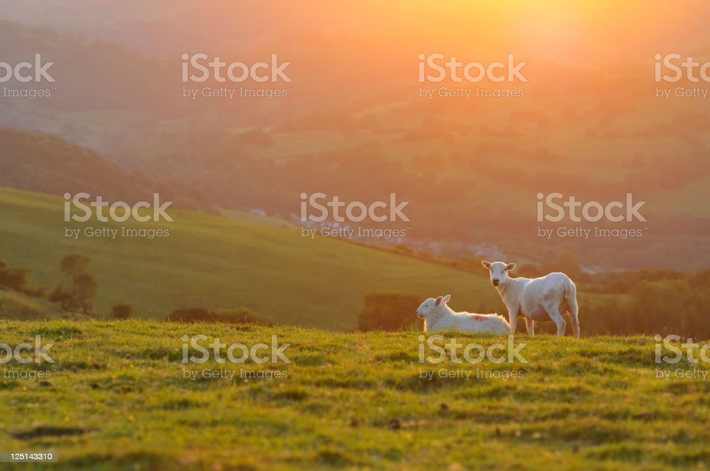 Welsh lambs at Sunset royalty-free stock photo