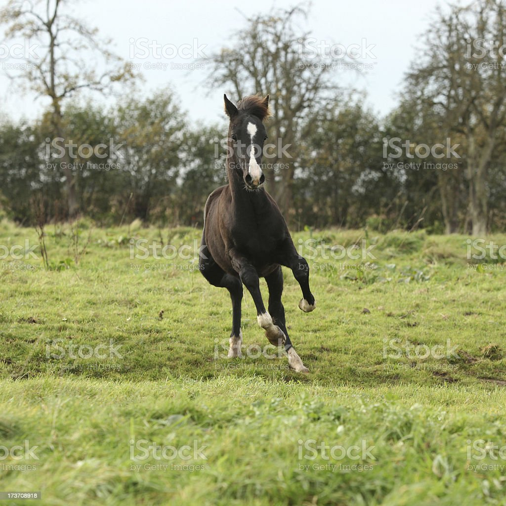 Welsh pony foal jumping on pasturage royalty-free stock photo