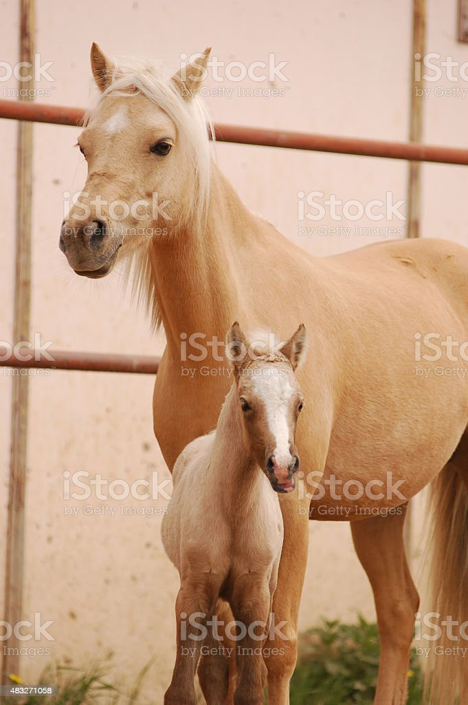 Welsh pony mare and foal stock photo