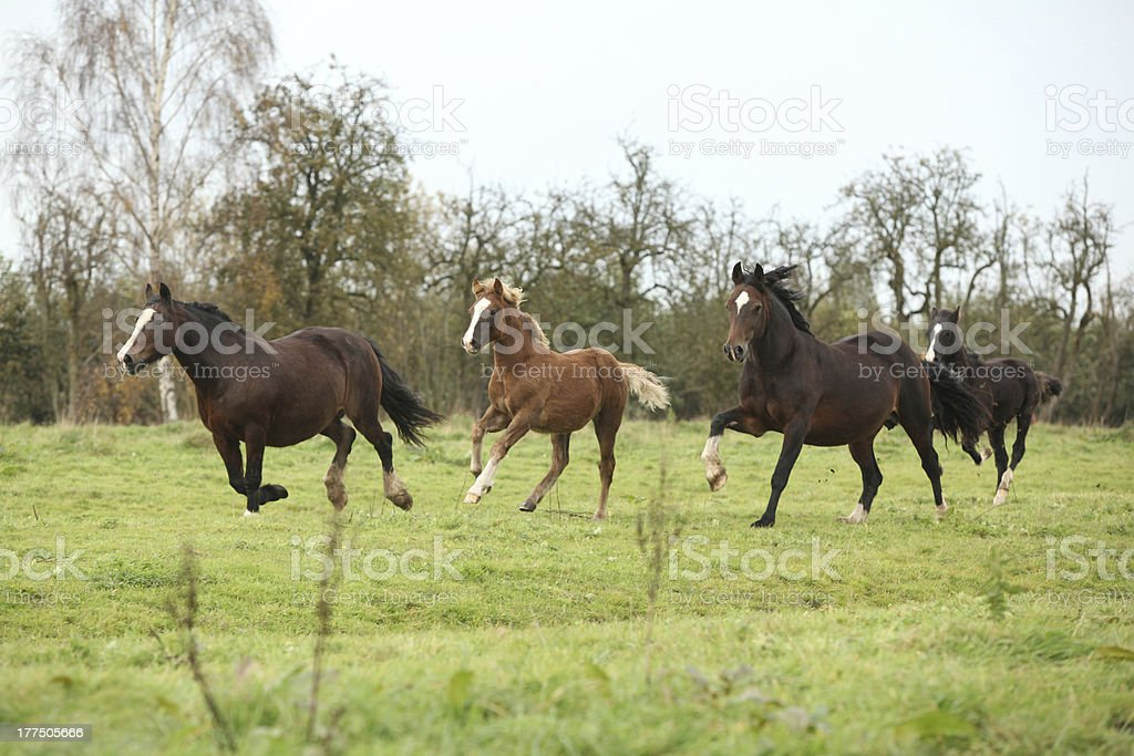 Welsh pony mares with foals running royalty-free stock photo