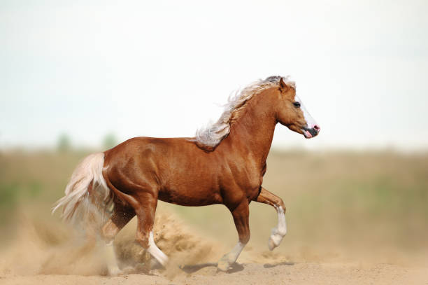 Welsh pony stallion Welsh pony stallion in the field in summer palomino stock pictures, royalty-free photos & images
