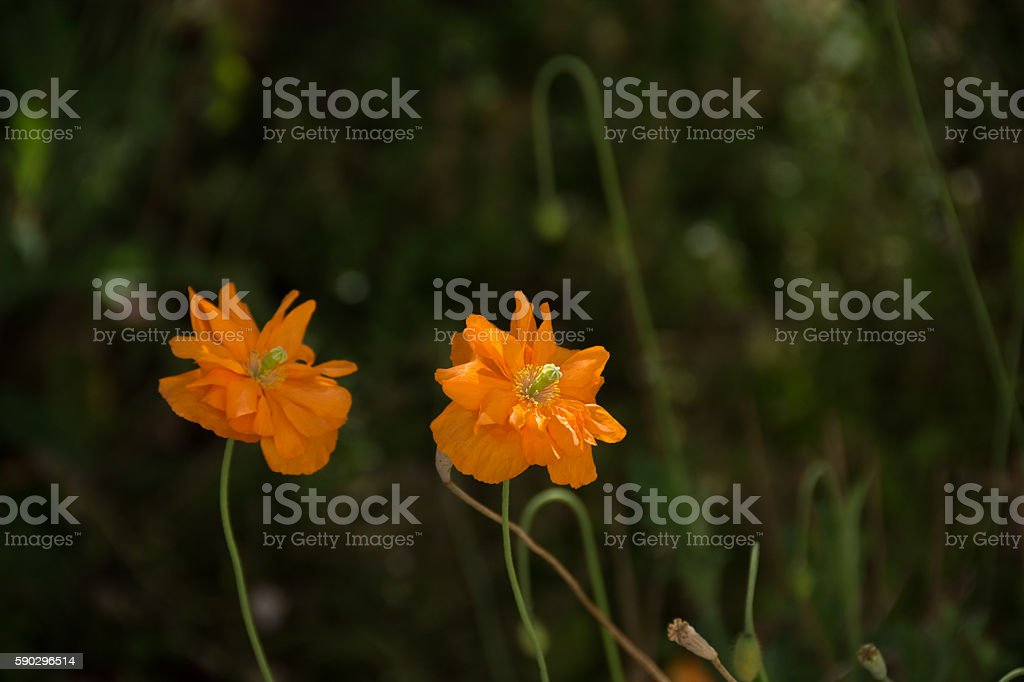 Welsh Poppies in bit of sun with dark background Стоковые фото Стоковая фотография
