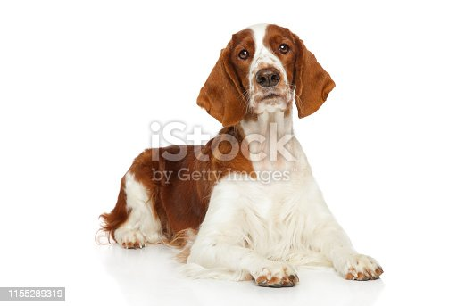 Young Welsh Springer Spaniel dog graceful lying on a white background