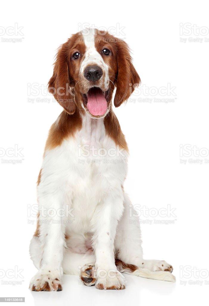 Welsh springer spaniel dog stock photo