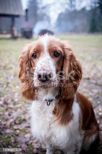 Welsh springer spaniel, portrait of a dog, full frame photo, high resolution, Welsh Springer Spaniel dog portrait looking at camera