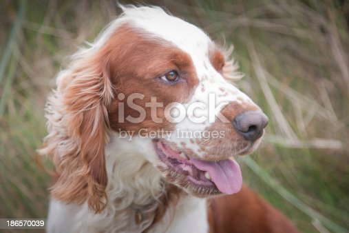 Welsh springer Spaniel dog portrait looking camera right in natural wild setting.Horizontal