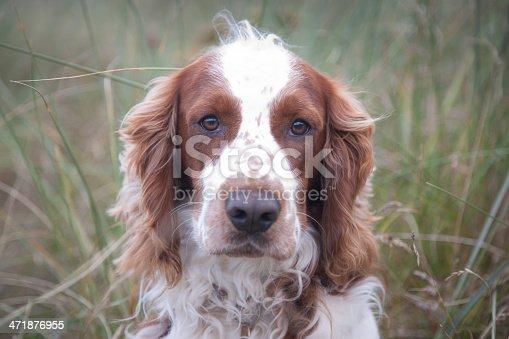 Welsh Springer Spaniel dog portrait looking at camera. Defocused wild grasses background. Horizontal.