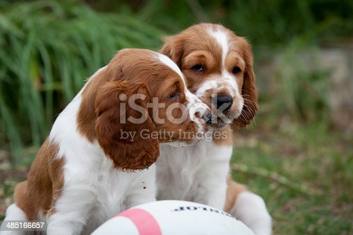 Welsh Springer Spaniel Puppies playing in the grass with dirt on their noses.
