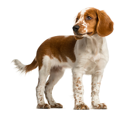Welsh Springer Spaniel Standing In Front Of A White ...
