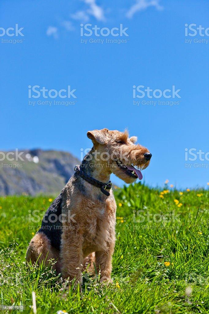 Welsh Terrier stock photo