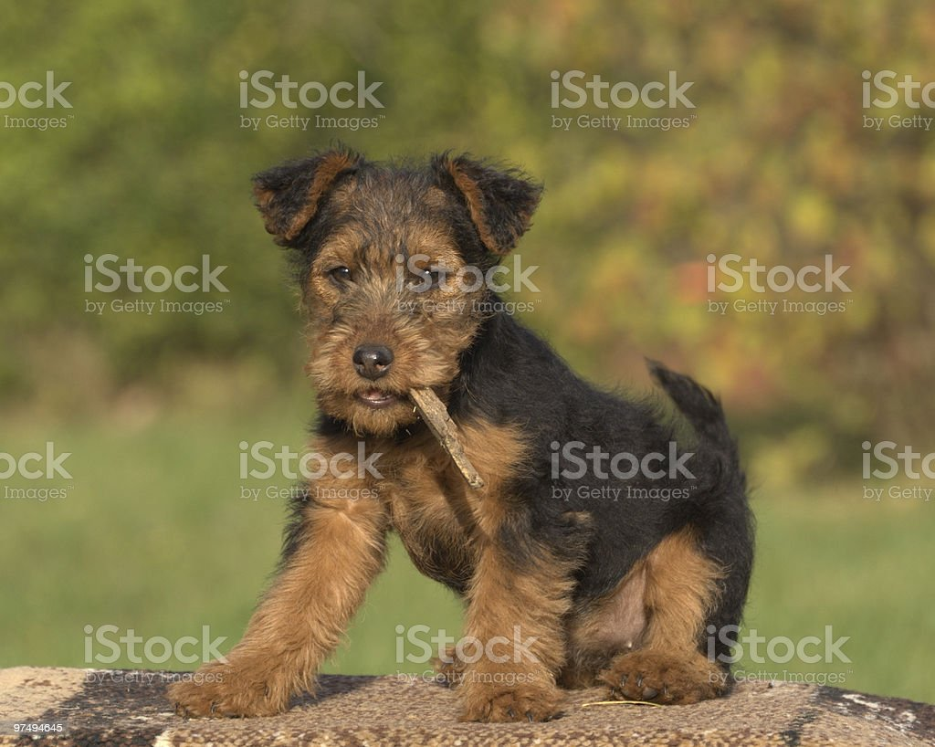 Welsh terrier royalty-free stock photo