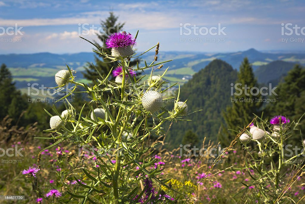 Welted Thistle in Mountains stock photo