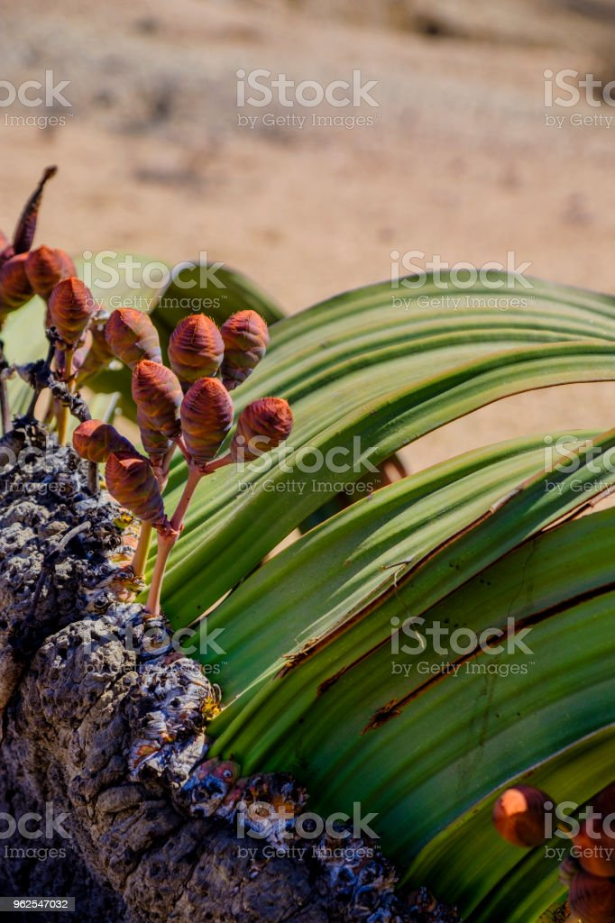 Welwitschia Mirabilis female cones - Royalty-free Africa Stock Photo