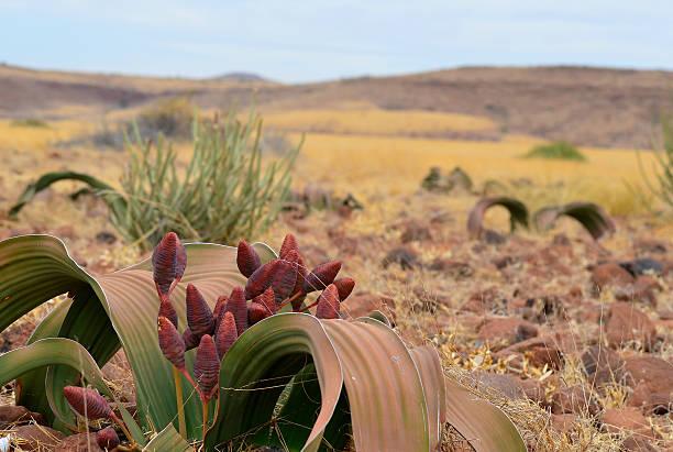 welwitschia mirabilis plant stock photo