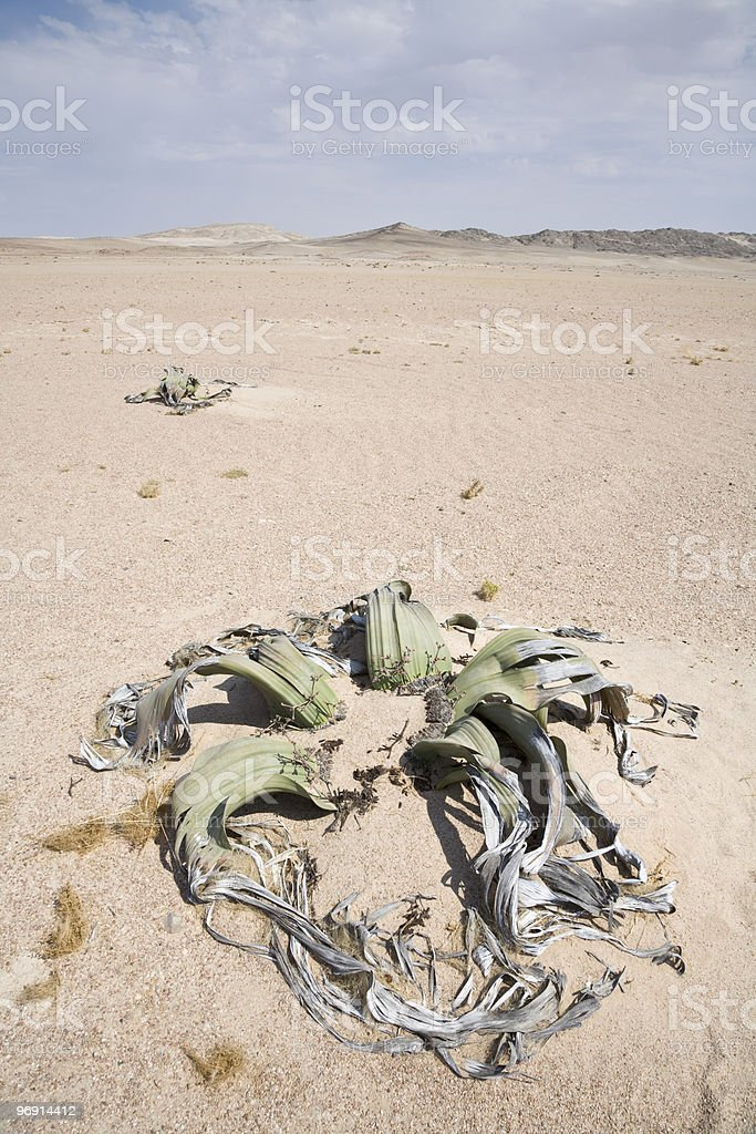 Welwitschia royalty-free stock photo