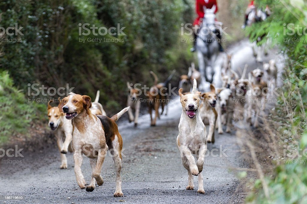 We're off! Pack of foxhounds at the start of a days hunting Approaching Stock Photo