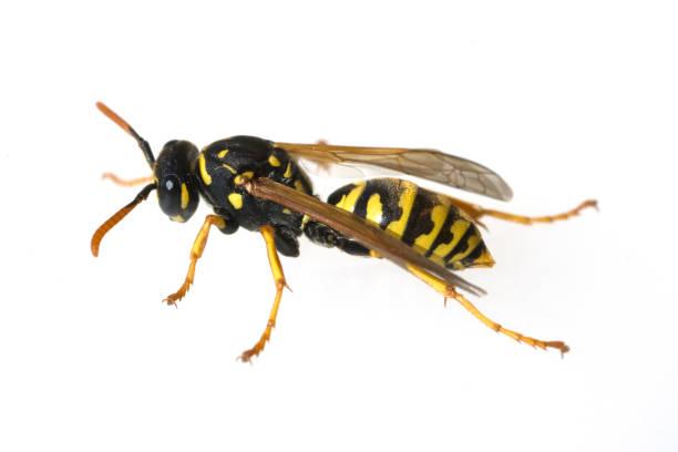 wespe; vespula; germanica; wasp - vespa comum - fotografias e filmes do acervo
