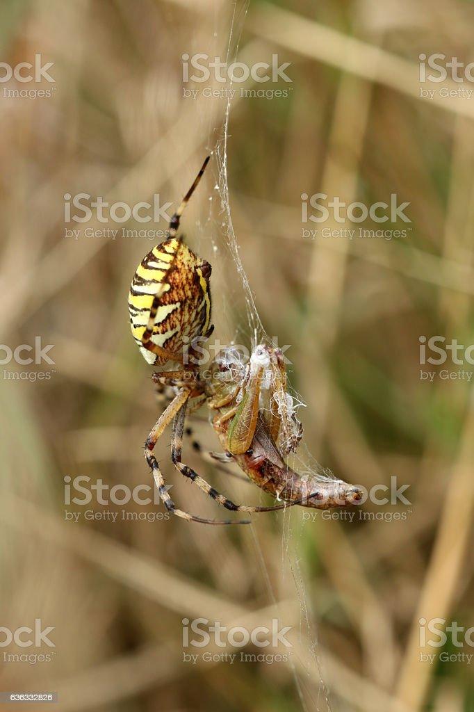 Wespenspinne stock photo