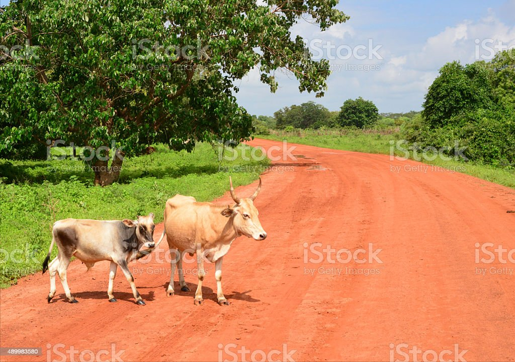 West Africa: cattle and dirt road stock photo