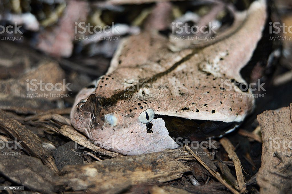 West African Gaboon Viper stock photo
