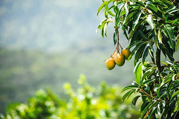 west african landscape with mango tree. benin. - mango fotografías e imágenes de stock
